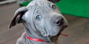 Применения антисептика Линкомистина при пиодермитах у собак