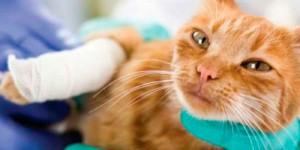 Лечение инфицированных ран у собак и кошек